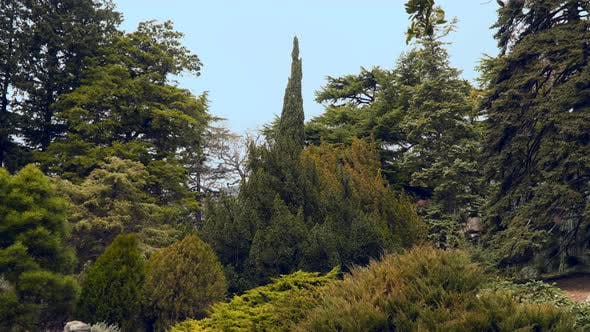 Thumbnail for Coniferous Trees In the National Park