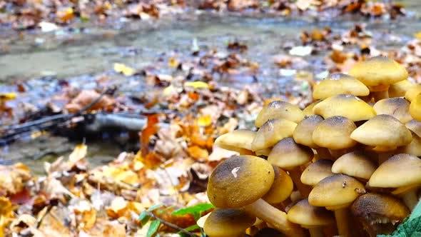 Honey Fungus Mushrooms 17