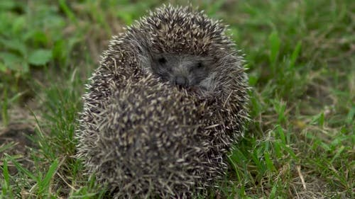 A Wild Hedgehog Curled Into a Ball. Hedgehog in the Nature