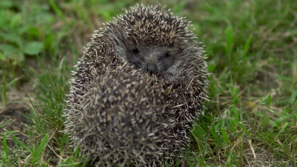 Thumbnail for A Wild Hedgehog Curled Into a Ball. Hedgehog in the Nature
