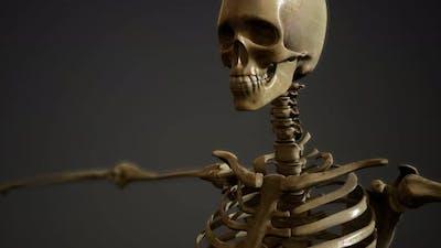 Bones of the Human Skeleton