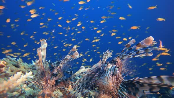 Thumbnail for Underwater Sea World Life Lionfish