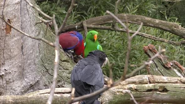 Thumbnail for Eclectus Perroquet mâle femelle adulte Paire de perroquets perché au repos