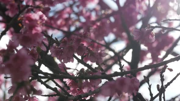 Thumbnail for Cherry Blossom With Sunlight