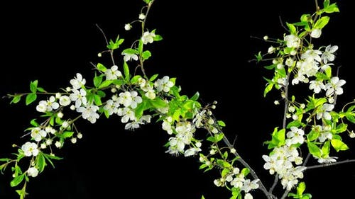 The tree blooms and fades,  time-lapse with alpha channel
