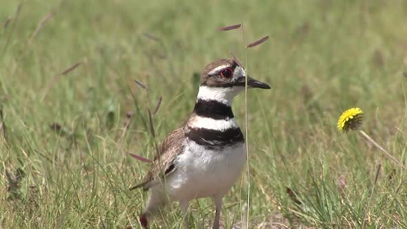 Cover Image for Killdeer Adult Lone Calling in Summer Nesting Behavior Danger Call