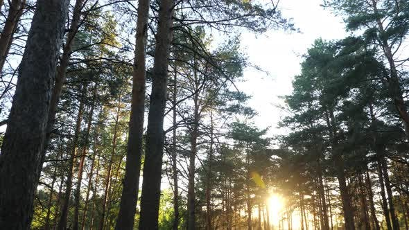 Sunset in the Trees of a Pine Forest