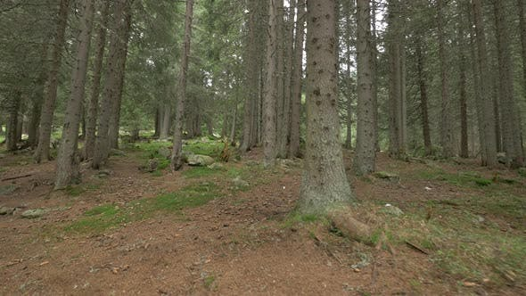 Thumbnail for Inside a Coniferous Forest