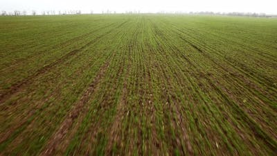 Aerial View on Winter Wheat Field
