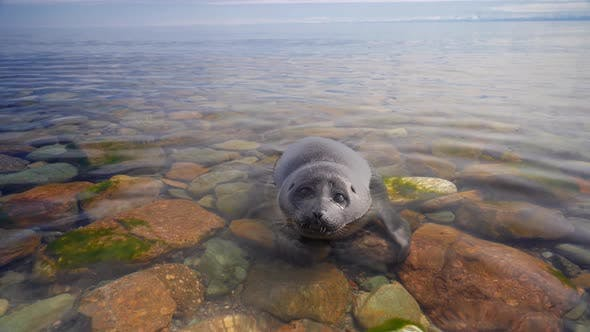 Close Up View of Small Seal Nerpa Baby Swim in Baikal Lake