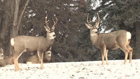 Mule Deer Buck Doe Adult Immature Herd Many Standing Looking Around in Winter