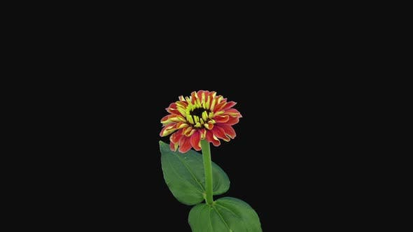 Thumbnail for Time-lapse of opening and dying orange Zinnia flower