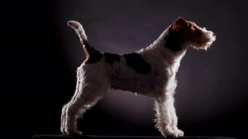 Wirehaired Fox Terrier Stands and Does Not Move in Profile in the Studio on a Gray Black Gradient