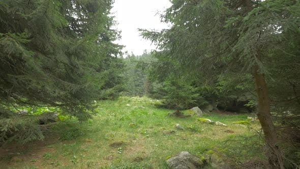 Thumbnail for Fir Trees in A Mountain Area