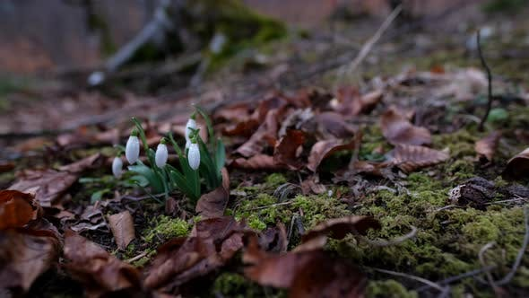 Snowdrops in the forest in early spring with fallen leaves in the foreground