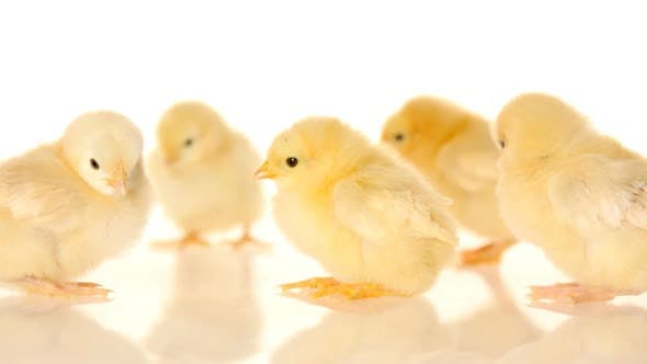 Thumbnail for Baby chicks on white background