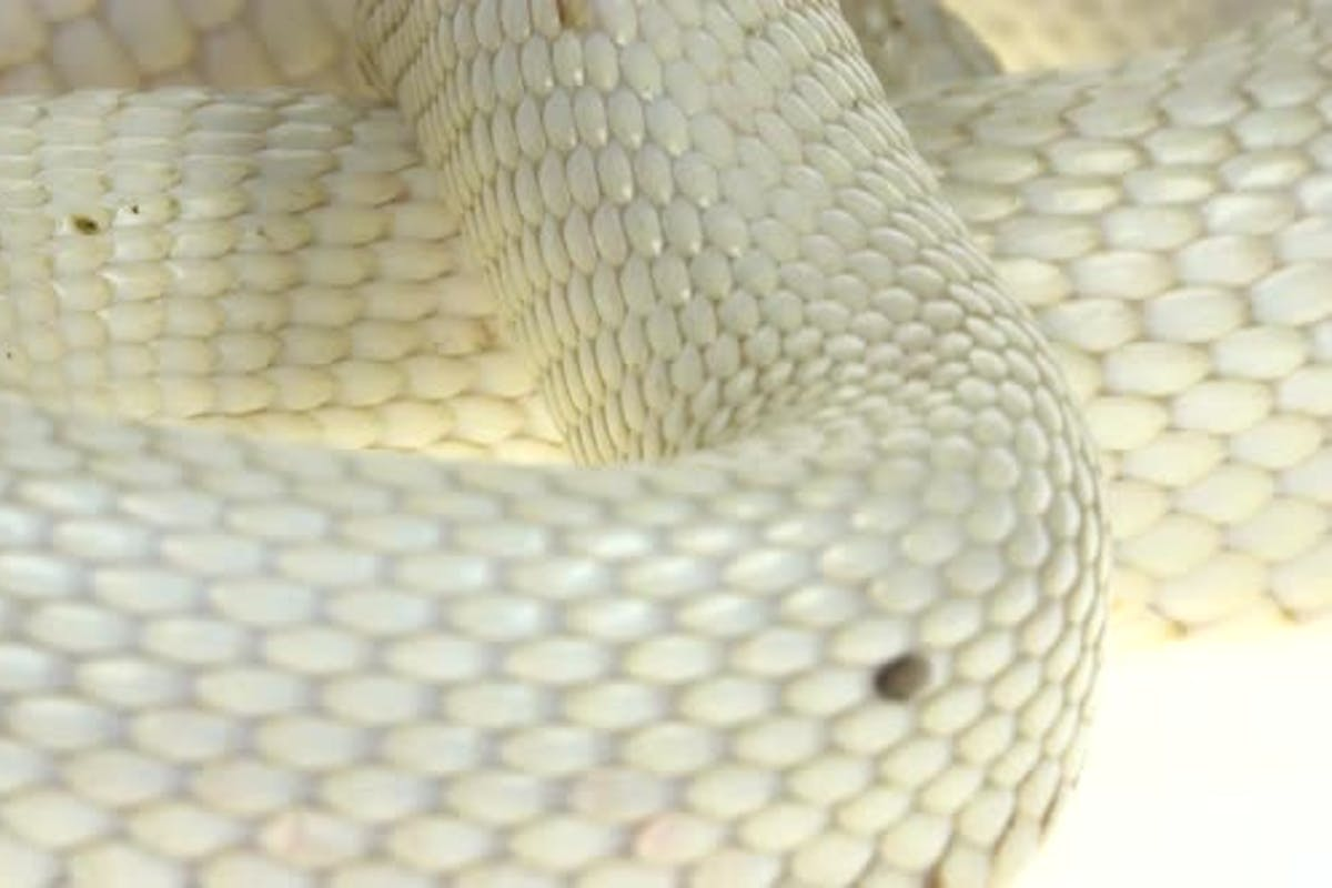 Texas Rat Snake Isolated On A White Background In Studio By Kinomaster On Envato Elements