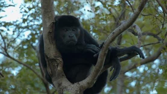 Mantled Howler Monkey Male Adult Lone Lazy Sleepy Shutting Eyes Dawn Morning