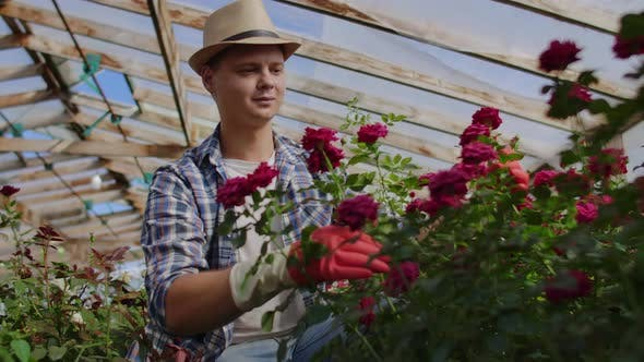 Thumbnail for Greenhouse with Growing Roses Inside Which A Male Gardener in a Hat Inspects Flower Buds and Petals