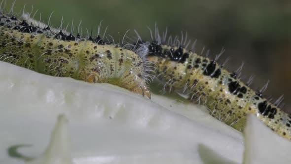 Caterpillars on Cabbage Macro
