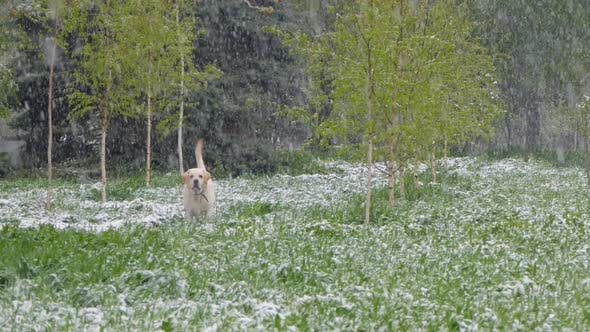 Thumbnail for The Dog Walks Through the Spring Park in Which It Snows