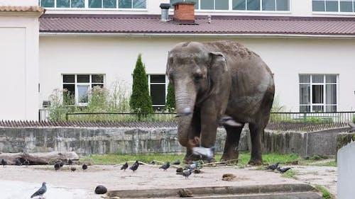Giant Elephant Walking Along Its Zoo Area on a Sunny Day