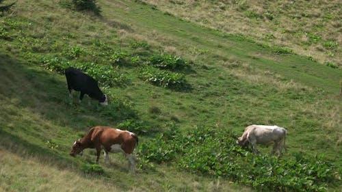 Cattle Herd Grazing on Mountain Pasture