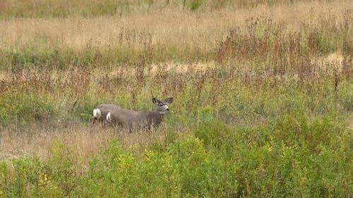 Mule deer bucks standing in open field looking around