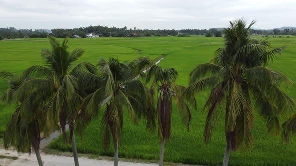 Coconut in row toward paddy field
