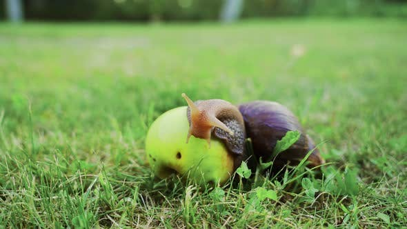 Big Brown Snail Slowly Crawls Over the Apple