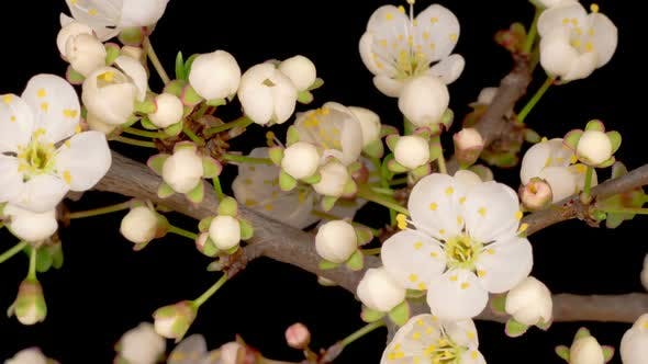 Cover Image for White Flowers Blossoms on the Branches of Wild Plum Tree