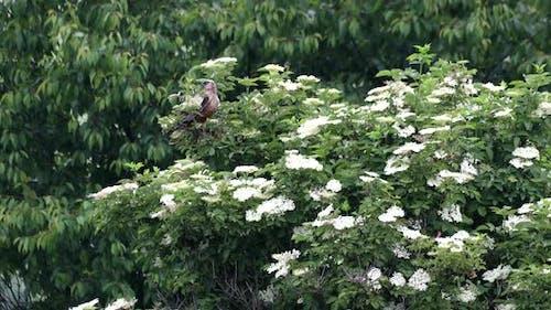 Sumpfweihe, Greifvögel, Europa Wildtiere