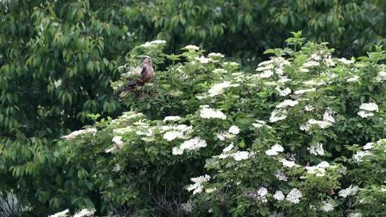 Thumbnail for Marsh Harrier, Birds of prey, Europe Wildlife