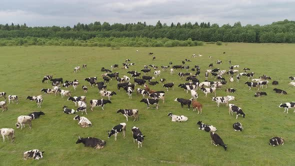 Cover Image for Cows Graze on Pasture