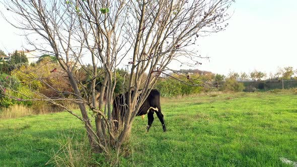 Thumbnail for Black Calves Grazing Behind The Tree