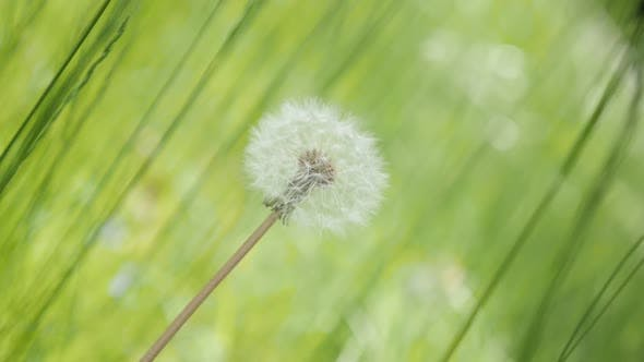 Thumbnail for Green surrounding  of blowball in the field slow-mo 1920X1080 HD footage - Beautiful Taraxacum scene