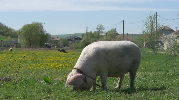Thumbnail for A pig grazing