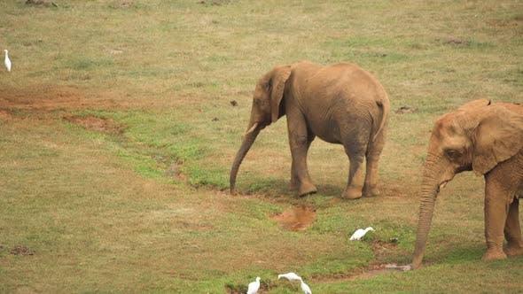 Thumbnail for Elephant 01