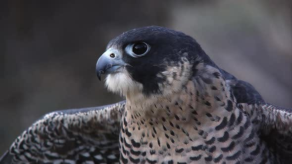 Tilting up shot of peregrine falcon