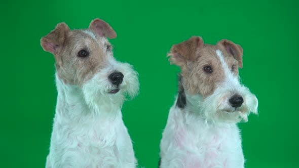 Cover Image for Two Fox Terriers Close Up. Green Screen