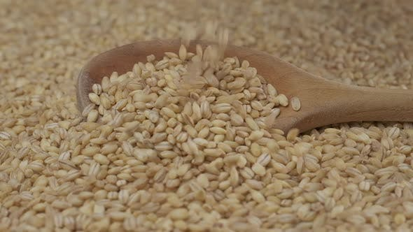 Grains d'orge Agriculture biologique