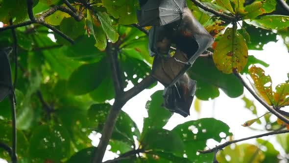 Thumbnail for Flying Foxes Hanging on a Tree Branch and Washing Up