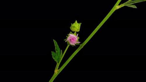 Malva Flower Timelapse on Pure Black