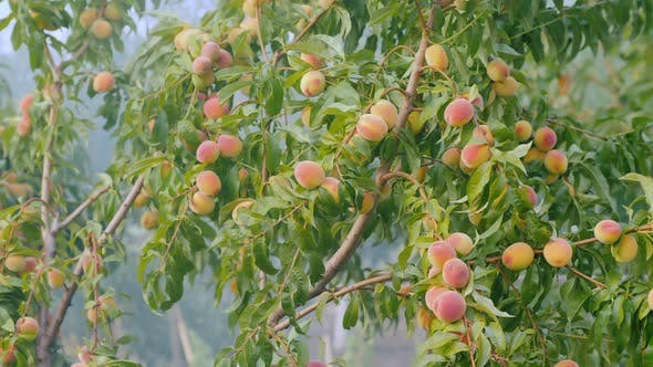 Thumbnail for Smoke Among the Branches with Peach Fruits. Frost Protection
