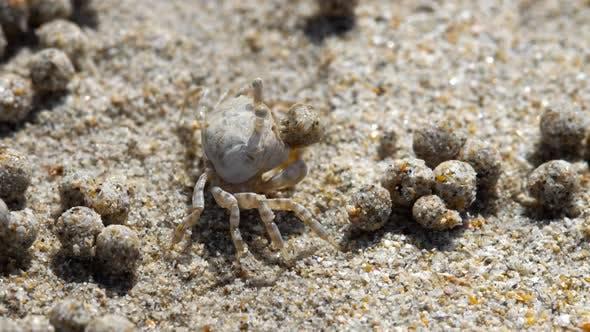 Thumbnail for Sand Bubbler Crab, Close-up