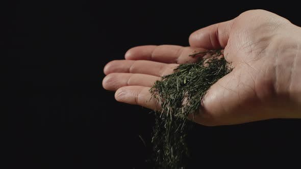 Dried green tea leaves fall from man's palm