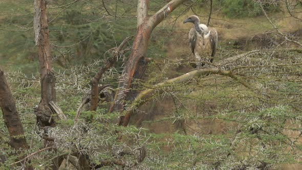 Thumbnail for Tilt up view of white-backed vultures on a tree