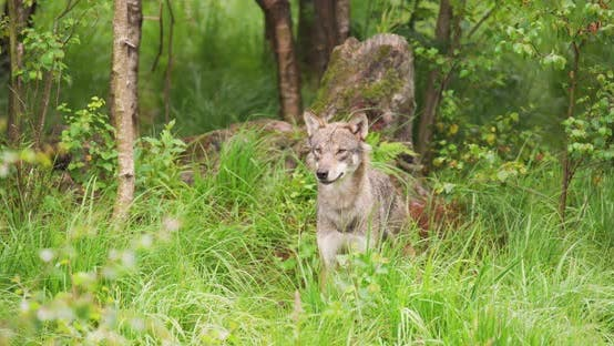 Thumbnail for Beautiful Grey Wolf Looking After Prey in the Dense Summer Forest