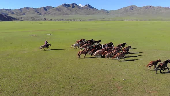 Thumbnail for Man on Horseback Trying to Catch Free Wild Horses on the Plain