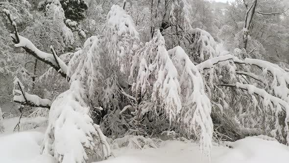 Thumbnail for Heavy snow covering branches on trees in winter